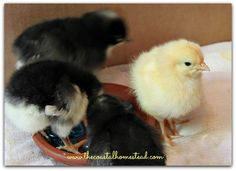 18 questions you should ask before buying chicks. A complete list of things to consider before adding chickens to your homestead. Buy Chickens, Keeping Chickens, Chickens And Roosters, Raising Chickens, Chicken To Go, Chicken Feed, Chicken Coops, Backyard Poultry, Chickens Backyard