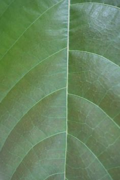 An up close look at the cacao leaf. Chocolate is made from the seeds found inside the cacao pods that grow from this same tree. Spice Rub, Few Ingredients, How To Make Chocolate, Cocoa Butter, Body Care, The Balm, Plant Leaves, Seeds, Bath And Body