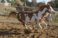 Rose is a very young (low mileage) 10 yr. old mare, proven (color producer; carbon-copy filly) that is as sweet as they come. Horse Love, White Patterns, North America, Trail, Donkeys, Beautiful Horses, Gallery, Painting, Animals