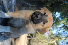 Litter of 9 Anatolian Shepherd puppies for sale in SEARCY, AR. ADN-49538 on PuppyFinder.com Gender: Female. Age: 6 Weeks Old