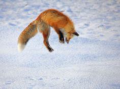 Ao escutar a presa se mover em túneis escavados na neve, a raposa faz seu movimento.