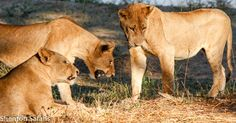 A pride of lions try to suss a baby crocodile out!