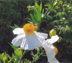 BEES ON POPPIES TAKEN IN TASMANIA