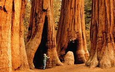 The Sequoias of California I have always wanted to see them.... can only imagine. SOMEDAY!