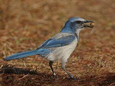 Florida Scrub-Jay Identification, All About Birds, Cornell Lab of Ornithology Merritt Island, Crazy Bird, Florida Usa, Sunshine State, Endangered Species, Bird Species, Blue Jay, Beautiful Birds, Habitats