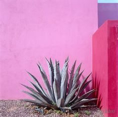 Agave plant in Mexico. Pink walls