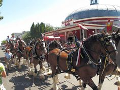 """""""Two hooves up!"""" The #Budweiser Clydesdales loved the island life, twice they've paraded through the Village streets. Sponsor: Miller Boat Line"""