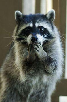 Les ratons laveurs n'ont pas vraiment bonne réputation : bagarreurs, voleurs ou encore agressifs. Pourtant, si on prend le temps de les connaitre, on...