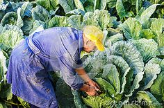 Photo about Farmer man cabbage field Brassica oleracea capitata. Old worker. Image of cultivate, gather, harvesting - 62312446 Farmer, Goats, Cabbage, Stock Photos, Business, People, Image, Farmers, Cabbages