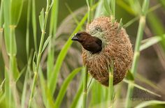 It is amazing, the things animals can create. A Thick Billed Weaver and his nest by Jason Glanville. #wildbird #wild