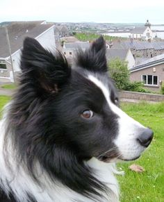 The beauty that is a Border Collie...
