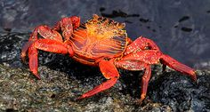 https://flic.kr/p/d6PKcm | Sally Lightfoot Crab -Galapagos Islands | These guys are all over the Galapagos and always shine vs the black lava rock.