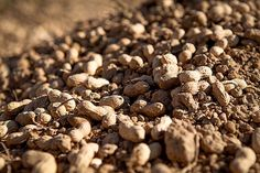 America's onetime favorite snack nut may be due for a comeback and it's going chemical-free… http://www.takepart.com/article/2015/08/12/new-peanut