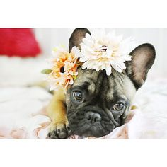 "The photographer keeps saying ""THINK the flowers, FEEL the flowers, BE the flowers"".....""I just wanna Nap"", tired French Bulldog Puppy."