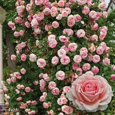 Spring Hill Nurseries Pink Flowers Pearly Gates Climbing Rose Live Bareroot Plant - The Home Depot Large Flowers, Pink Flowers, Exotic Flowers, Yellow Roses, Bed Of Roses, Rose Foto, Ronsard Rose, Spring Hill Nursery, Hybrid Tea Roses
