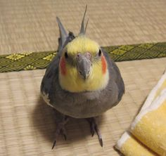 No other bird s as happy as a tiel. Love these parrots.
