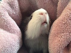 thegrumdybump:    Someone quite enjoyed their post-bath towel cocoon.