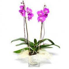Una pianta particolare nelle tonalità del rosa o screziata, molto elegante ed adatta per ringraziamenti, matrimoni, compleanni ed anniversari.