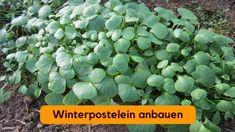Der Anbau von Winterpostelein ist nicht schwer und wird mit diesen Tipps leicht gelingen. Wer Postelein noch nicht kennt, wird von dieser pflegeleichten Pflanze begeistert sein. Sie ist auch sehr gut für den Balkon geeignet.