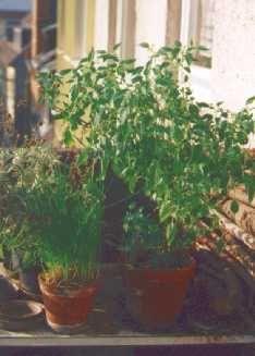 Überwinterte Thai-Chili-Pflanze Ende März