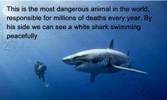 pretty-ramblings:                omg I love this    4 kills per year by sharks, 40 million sharks killed by humans. js.    omg I love this