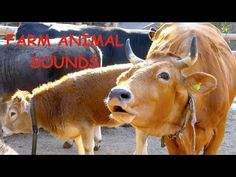 This video, for children and their parents (and all others who love farm animals aswell) includes 20 different breeds of farm animals, which I have filmed in. Polish Chicken, Cows Mooing, Muscovy Duck, Spring Hill Nursery, Icelandic Horse, Finding Joy, Christian Life, Art Activities, Nursery Rhymes
