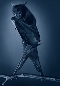 this bat looks a little too human than I'm comfortable with. (More Than Human: Tim Flach's Striking Portraits of Animals)