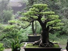 Bonsai is a Japanese art form using miniature trees grown in containers. The word bonsai is usually used in English as an umbrella term for miniature trees in pots. Bonsai is not planted for production of food, for medicine, or for creating...