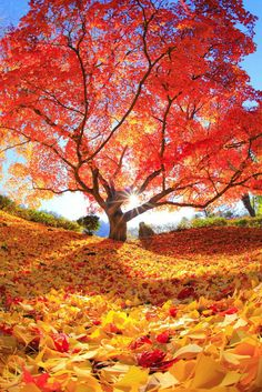 Autumn Tree of Life Beautiful World, Beautiful Places, Beautiful Pictures, Fall Pictures, Nature Pictures, Fotografia Macro, Autumn Scenes, Red Tree, Amazing Nature