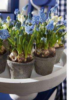 Er is niets makkelijker dan het laten groeien en bloeien van #bloembollen. Zelfs de meest onhandige tuinier kan een mooie #voorjaarstuin creëren met bloembollen.