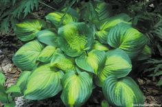 Hosta 'Cathedral Windows' - sport of Stained Glass