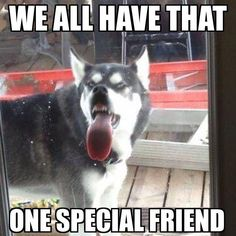 Wonderful All About The Siberian Husky Ideas. Prodigious All About The Siberian Husky Ideas. Funny Husky Meme, Dog Quotes Funny, Funny Dogs, Corgi Funny, Dog Jokes, Funny Animal Jokes, Cute Funny Animals, Animal Memes, Siberian Husky Facts
