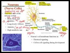 The purpose of this presentation is to explain the four common tissue types which make up the structures of the body of vertebrates and most other animals. Tissue Types, Vertebrates, Purpose, Presentation, Animals, Animales, Animaux, Animal, Animais