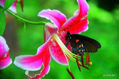 Day Lilly & Mz. Butterfly