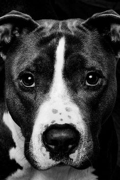 Pit bulls do not fight for sport or because they have a vicious nature.  They live to please and are unwaveringly loyal.  That's why they will die in the ring.. to please their ridiculously disgusting owner.
