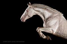 """Porcelain"" - Hungarian Stallion - Photo: Wiebke Haas | www.wiebke-haas.de #cremello #stallion #equus #equine #equinephotography #horse #horsephotography #pferd #pferdefotografie #pferde"