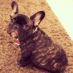 That face! Anything you want I will give it! ... Frenchie puppy