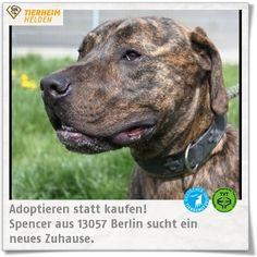 Spencer kam als Fundtier ins Tierheim Berlin.  http://www.tierheimhelden.de/hund/tierheim-berlin/alano/spencer/7272-0/  Spencer ist sehr lebhaft und selbstbewusst. An der Erziehung  lässt sich noch arbeiten. Die neue Familie sollte genügend Hundeerfahrung mitbringen, um Spencer zu beschäftigen. Kinder ab einem Alter von 16 Jahren sind kein Problem.
