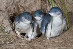 A family of Blue or Little Penguins (Eudyptula minor) exiting their burrow. At an average of 33 cm (13 in) in height, 43 cm (17 in) in length, and 1.5 kg (3.3 lb) in weight, this is the smallest species of penguin. It is found on the coastlines of southern Australia and New Zealand, with some colonies popular as tourist attractions.  Photo: JJ Harrison