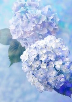 See More in Pinmotivasi Lavender Aesthetic, Flower Aesthetic, Amazing Flowers, Blue Flowers, Beautiful Flowers, Galaxy Wallpaper, Flower Wallpaper, Hydrangea Wallpaper, Natur Wallpaper