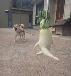 """A Japanese farmer dug up a """"leaping"""" daikon and had the inspired idea to suspend it from a string and take pictures of it leaping all over the place. Japanese Farmer, Japanese Dogs, Animals And Pets, Funny Animals, Cute Animals, Image Fruit, Funny Vegetables, Funny Fruit, Funny Food"""