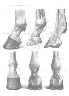 Horse anatomy - Hooves