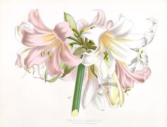 Bland Amaryllis Amaryllis blanda from Floral Prints by Joseph Paxton 1884