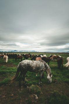 Flickr Icelandic wild horses.