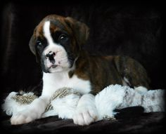 We strives to breed the best German Boxer puppies in the US.We start with parents from the very best German lines known for health longevity great temperament and of course correct conformation.We health test our breeding dogs. Black Boxer Puppies, Brindle Boxer Puppies, Boxer Puppies For Sale, Reverse Brindle Boxer, Boxer Breeders, Boxers For Sale, Cheap Puppies, American Boxer, Puppy Barking