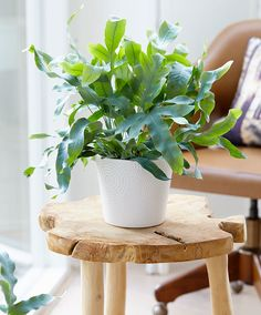Rockcap Fern 'Blue Star' product photo