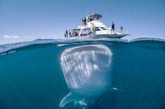 Γιγάντιος φαλαινοκαρχαρίας «αιχμαλωτίζεται» κάτω από σκάφος ανυποψίαστων τουριστών