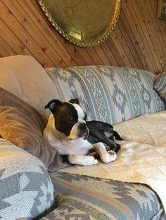 Boston terrier in his habitat