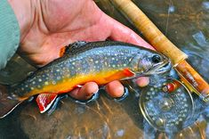 brook trout - Google Search