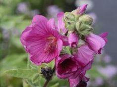 Blüht sehr lange (Juli-Oktober!) Busch-Malve 'Red Rum' - Lavatera clementii 'Red Rum'